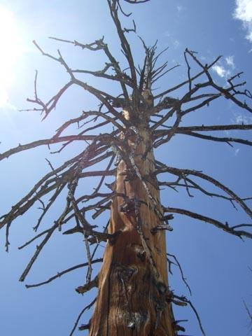 枯れたもみの木