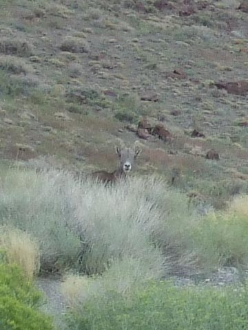 Bighorn Sheep, probably a mother
