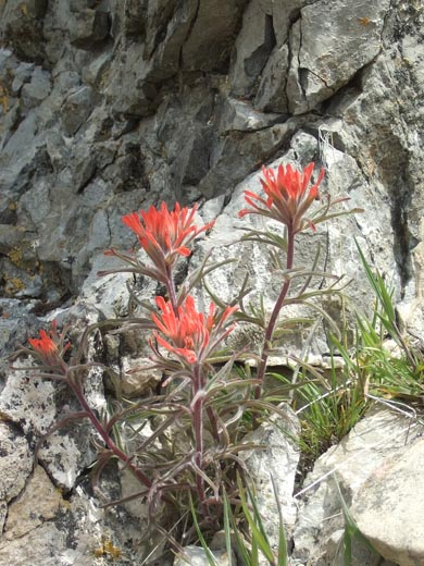 Scarlet Paintbrush - Mill Creek Canyon