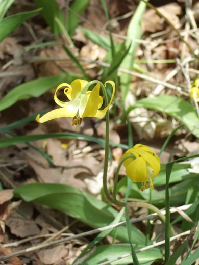 Yellow Gracier-Lily (Snow-Lily) - Mill Creek Canyon