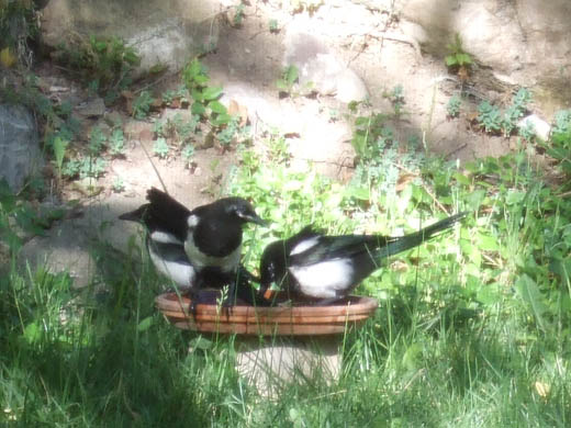 magpie : カササギ